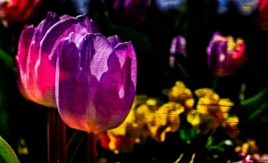 Backlight - Abstract Tulips