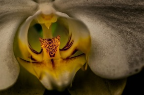 Raptor - Abstract Moth Orchid
