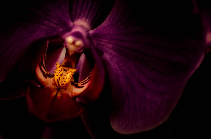 Seduction - Abstract Moth Orchid