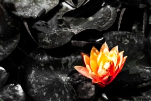 Water Lily: Fire