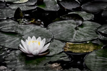 Water Lily: Grunge