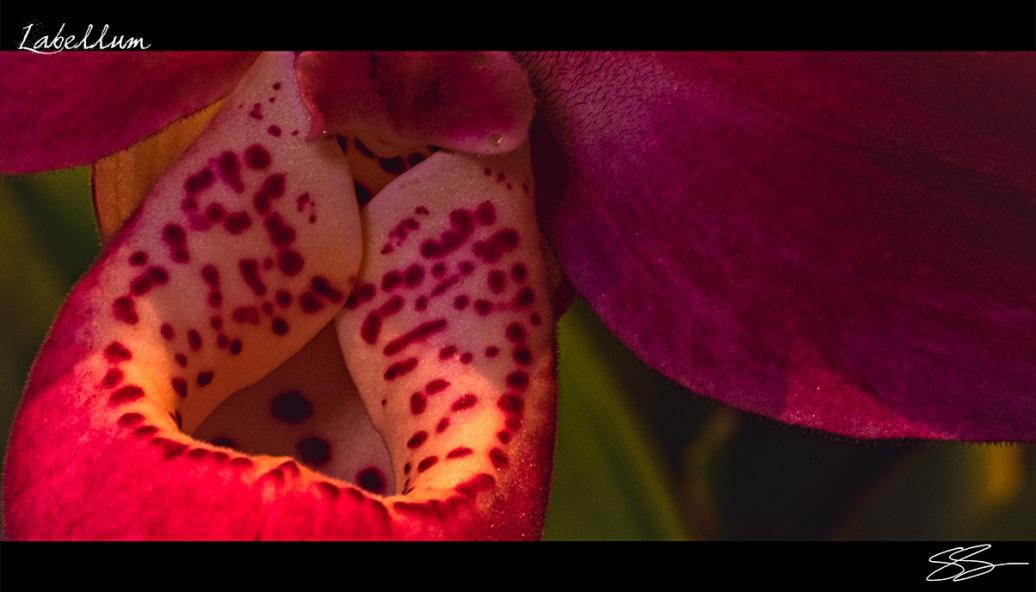 Orchidelirium: Labellum