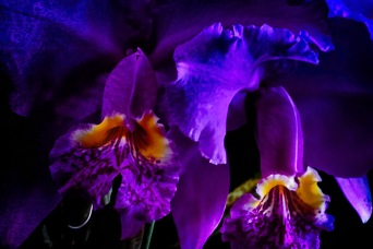 Orchidelirium: The Prince of Orchids