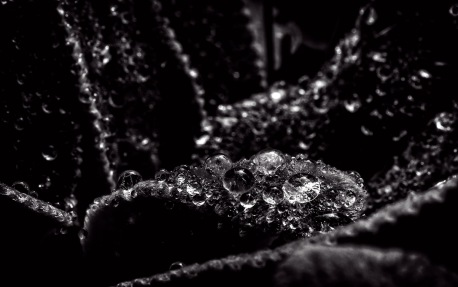 Dewdrops on plant black and white