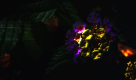 In the Garden of Earthly Delights: Abstract Lantana Camara