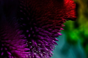 Garden of Love: Abstract Cockscomb