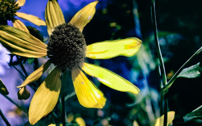 Susan: Black-eyed Susan in Autumn
