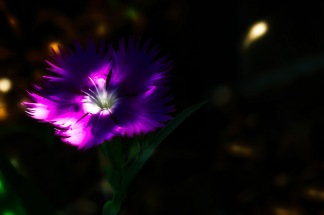 Sweet William: Abstract Dianthus