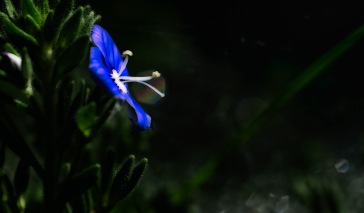 Titania: Abstract Germander Speedwell