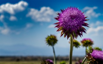 Thistle - Erie, Colorado