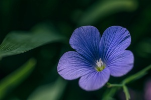 Heavenly Blue - Blue Flax