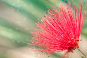 Fireworks: Bottlebrush