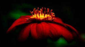 16 Candles - Mexican Sunflower