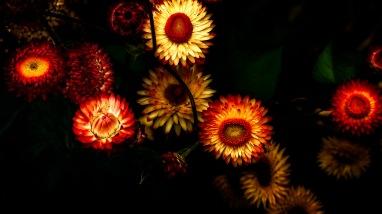 Glam - Everlasting Flowers (Helichrysum bracteatum)