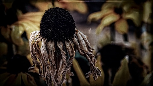 Scarecrow - Dead Black-eyed Susan