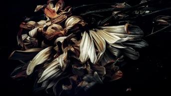 November - Dead daisies